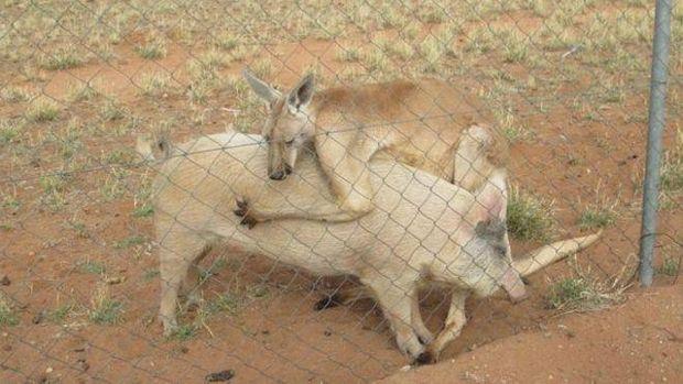 Кенгуру, свиня, Австралія