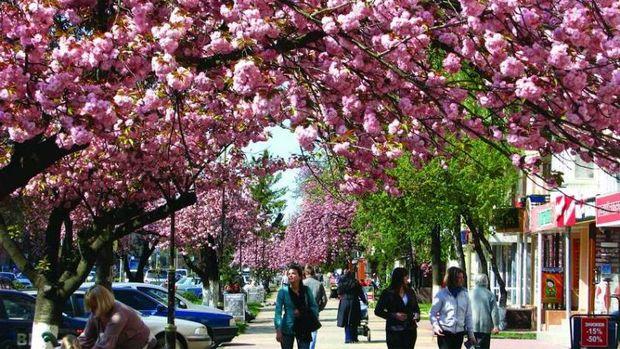 Сакури в Ужгороді: ви ще встигнете їх побачити на травневі свята
