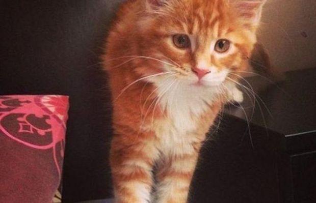 Знайдено найдовшого кота усвіті